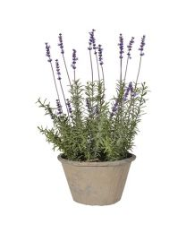 French Lavender Bush In Brown Garden Pot