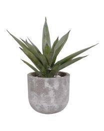 Aloe Vera In Grey Cement Pot