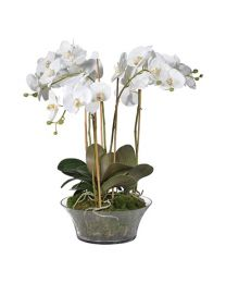 White Orchid Phalaenopsis Plants With Moss In Shallow Glass
