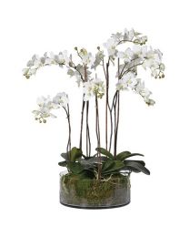 White Orchid Pretty Phalaenopsis Plants with Moss in Shallow