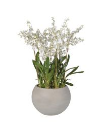 White Dancing Oncidium Orchid Plants In Round Grey Planter