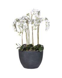 White Orchid Phalaenopsis Large Plants In Dark Grey Tub Planter
