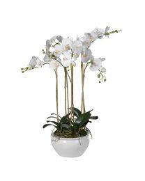 White Large Orchid Phalaenopsis Plants In Cream Glazed Planter