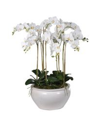 White Large Orchid Phalaenopsis Plants In Cream Glazed Planter