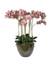 Shades Pink Orchid Phalaenopsis Plants With Soil In Glass Bowl
