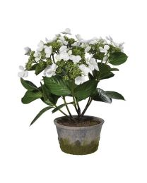 White Lace Cap Hydrangea Plant In Grey Cement Garden Pot