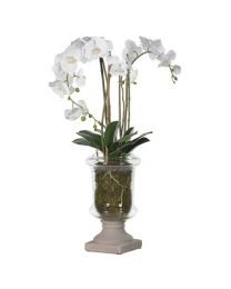 White Orchid Phalaenopsis Plants Arrangement In Glass Urn With Grey Resin Base