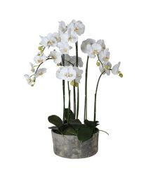 White Orchid Phalaenopsis Plants In Round Grey Cement Plante